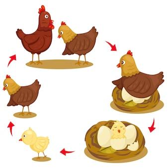 Ilustrador del ciclo de vida del pollo.