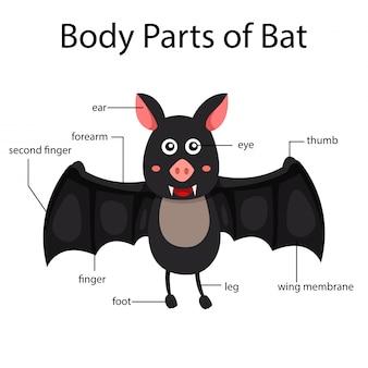 Ilustrador de partes del cuerpo de murciélago.