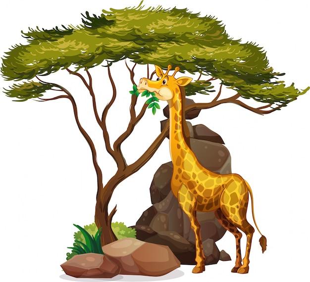 Imagen aislada de jirafa comiendo hojas
