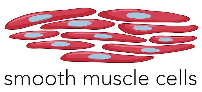 Imagen de células musculares lisas