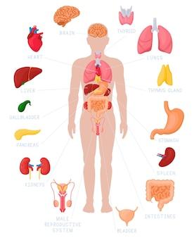 Infografía de anatomía humana. nombres y ubicación de órganos internos anatómicos, riñones, corazón y cerebro
