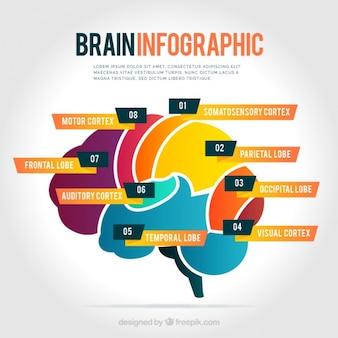 Infografía de cerebro de colores