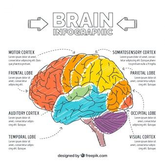 Infografía de cerebro pintado a mano