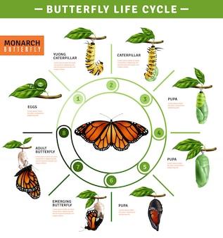Infografía del ciclo de vida de la mariposa