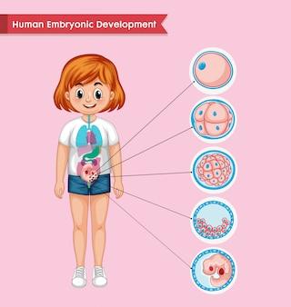 Infografía científica médica del desarrollo embrionario humano.