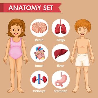 Infografía científica médica de órganos infantiles