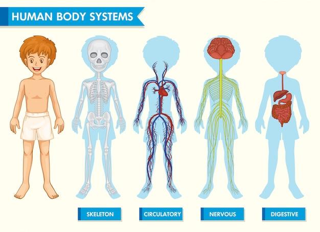 Infografía científica médica de los sistemas del cuerpo humano.
