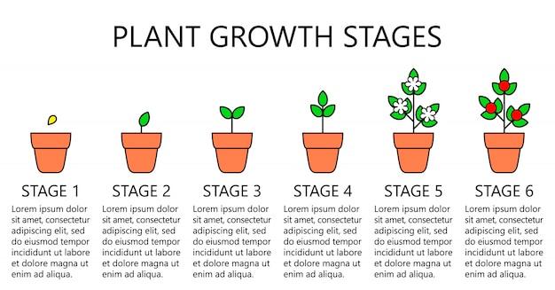 Infografía de etapas de crecimiento de la planta. iconos de arte lineal. plantilla de instrucciones de plantación. ilustración de estilo lineal aislado