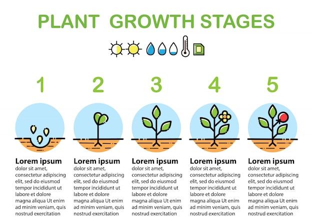 Infografía de las etapas de crecimiento de las plantas. iconos de la línea de arte. ilustración de estilo lineal aislado en blanco. plantación de frutas, proceso de hortalizas. estilo de diseño plano.