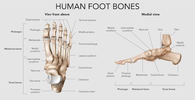 Infografía de huesos del pie humano