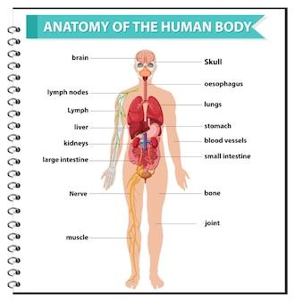Infografía de información de anatomía del cuerpo humano