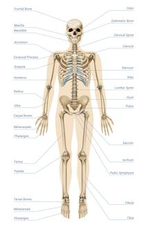 Infografía realista del sistema esquelético humano