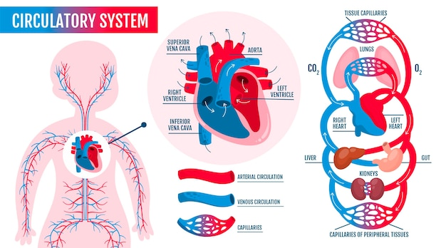 Infografía del sistema circulatorio dibujado a mano