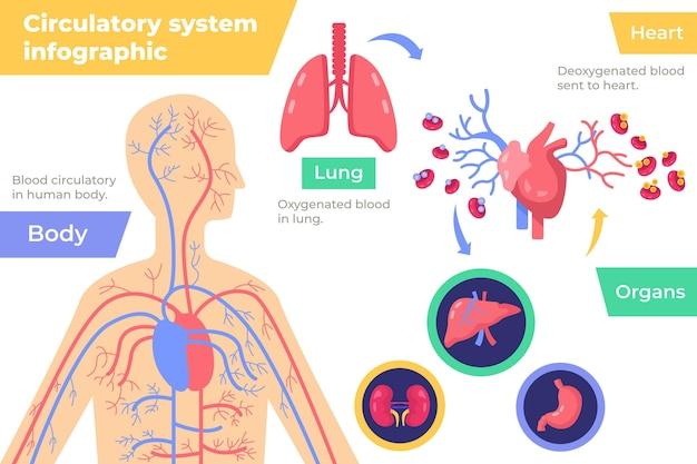 Infografía del sistema circulatorio en diseño plano.