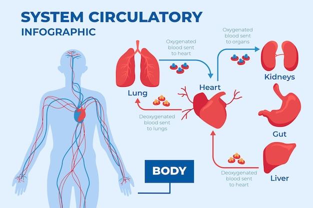 Infografía del sistema circulatorio de diseño plano