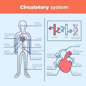 Infografía del sistema circulatorio lineal.