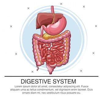 Infografía del sistema digestivo con información