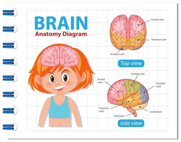 Información del diagrama del cerebro humano