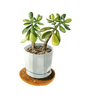 Inicio planta verde crassula suculenta maceta blanca