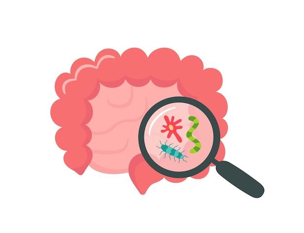 Intestino humano delgado y grueso y lupa. microbioma intestinal. sibo, síndrome del intestino permeable y crecimiento de cándida