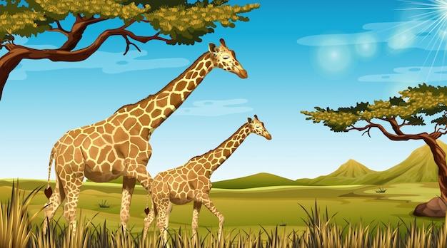 Jirafas en paisaje africano