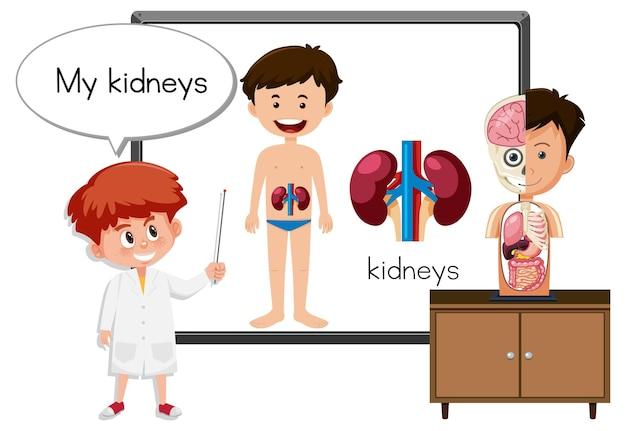 Joven médico explicando la anatomía de los riñones