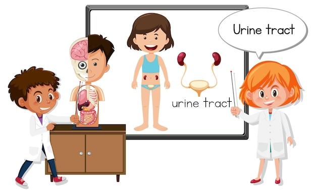 Joven médico explicando el tracto urinario