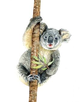 Koala cuelga en rama con eucalipto de retención