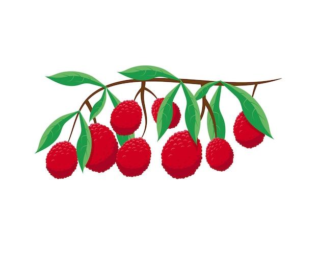 Lichi frutas frescas en la rama sobre el fondo blanco.