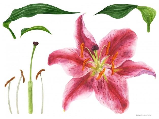Lily stargazer asiática flor y pistilo