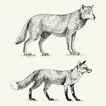Lobo gris salvaje y zorro rojo grabado dibujado a mano en estilo antiguo boceto, animales antiguos