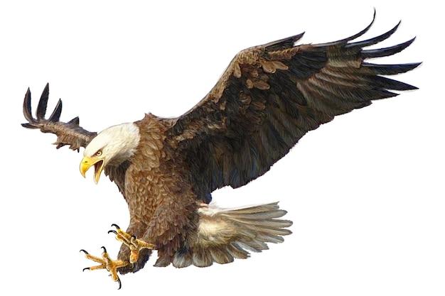 Mano de ataque de águila calva dibujar y pintar de color en blanco