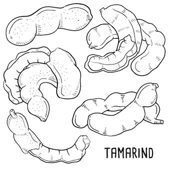 Mano dibuja la ilustración de tamarindo.
