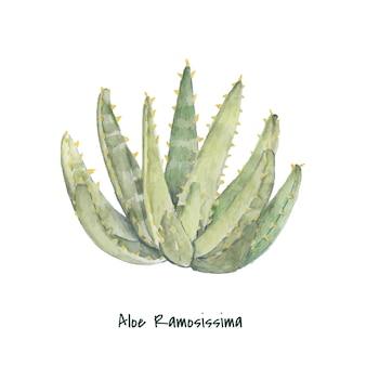 Mano dibujada aloidendron ramosissimum planta