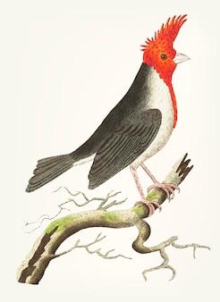 Mano dibujada del cardenal con cresta