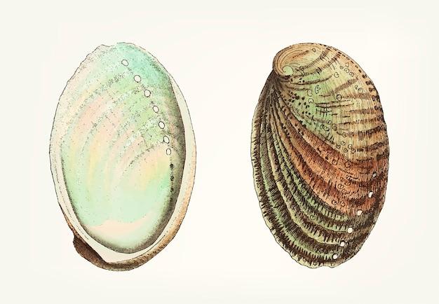 Mano dibujada de concha de abulón