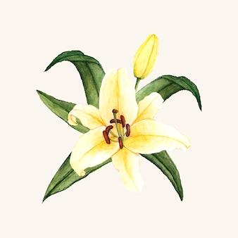 Mano dibujada flor de lirio blanco aislado