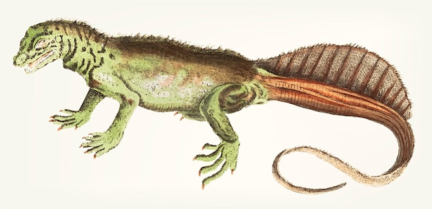 Mano dibujada lagarto variegeted de cola larga