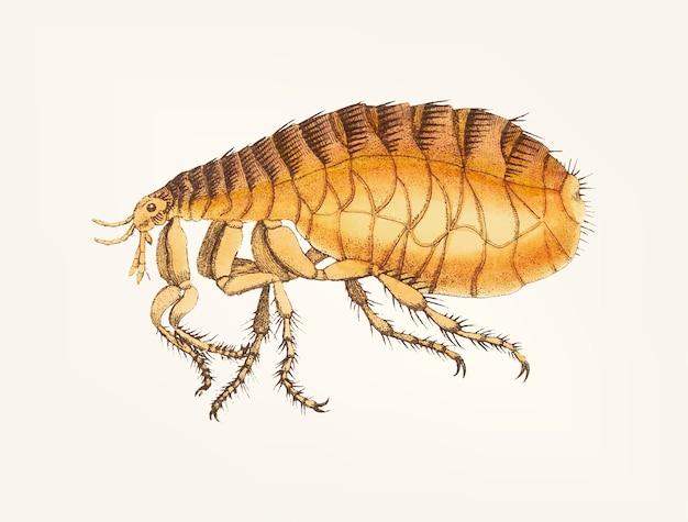 Mano dibujada de pulga