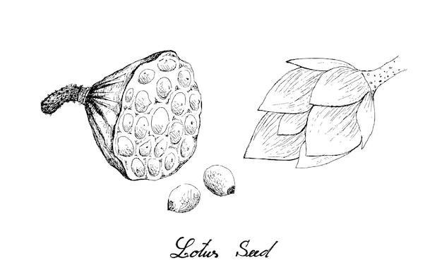 Mano dibujada de vaina de loto con semillas