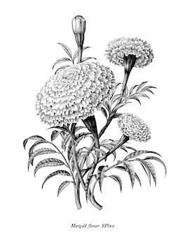 Mano de flor de caléndula dibujar imágenes prediseñadas en blanco y negro de estilo vintage aislado