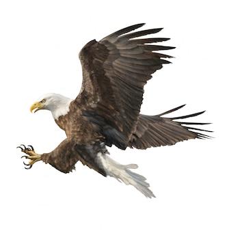 La mano del swoop del ataque del águila calva dibuja el fondo blanco.