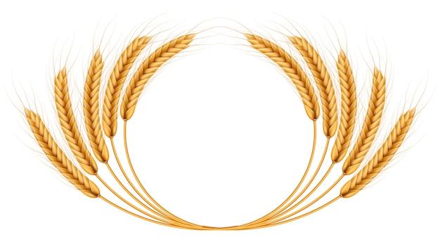 Manojo de espigas, marco de ilustración realista de granos enteros secos aislado sobre fondo blanco. plantilla de objeto de panadería. guirnalda de espigas.