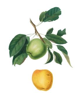 Manzana de la ilustración de pomona italiana