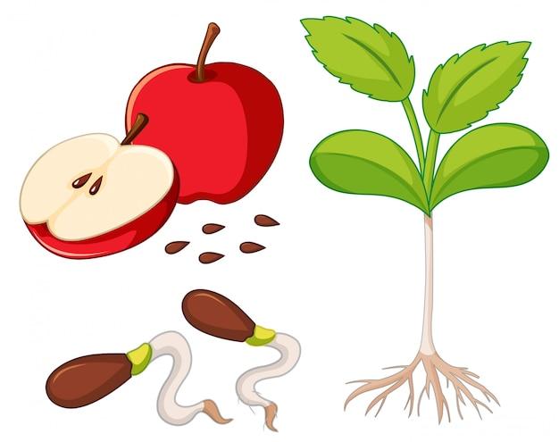 Manzana roja con semillas y árbol joven