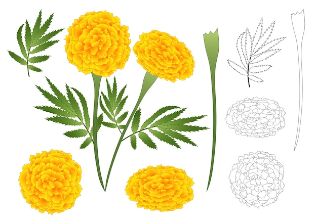 Marigold flower outline