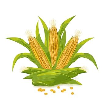 Mazorca de maíz y grano