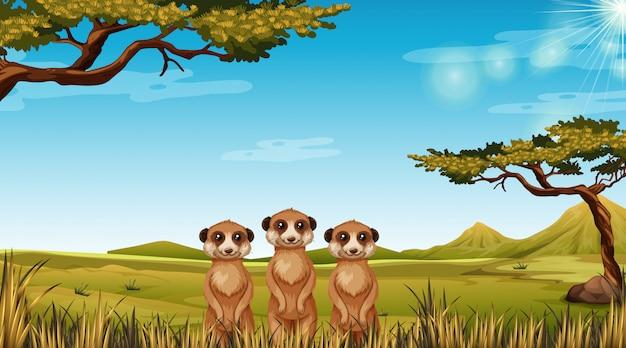 Meerkats en el paisaje africano