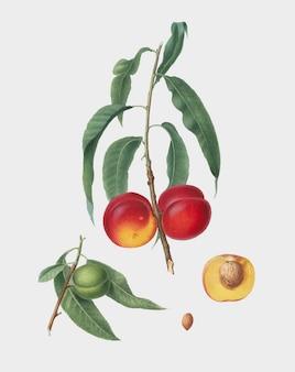 Melocotón de nuez de la ilustración de pomona italiana