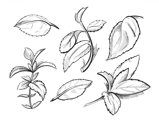 Menta medicina hierba menta hojas dibujados a mano